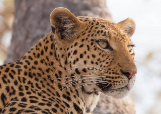 Léopard – Botswana
