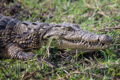 Crocodile – Botswana