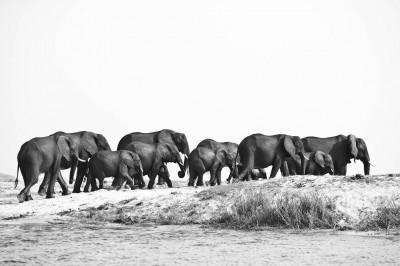 Eléphants – Botswana