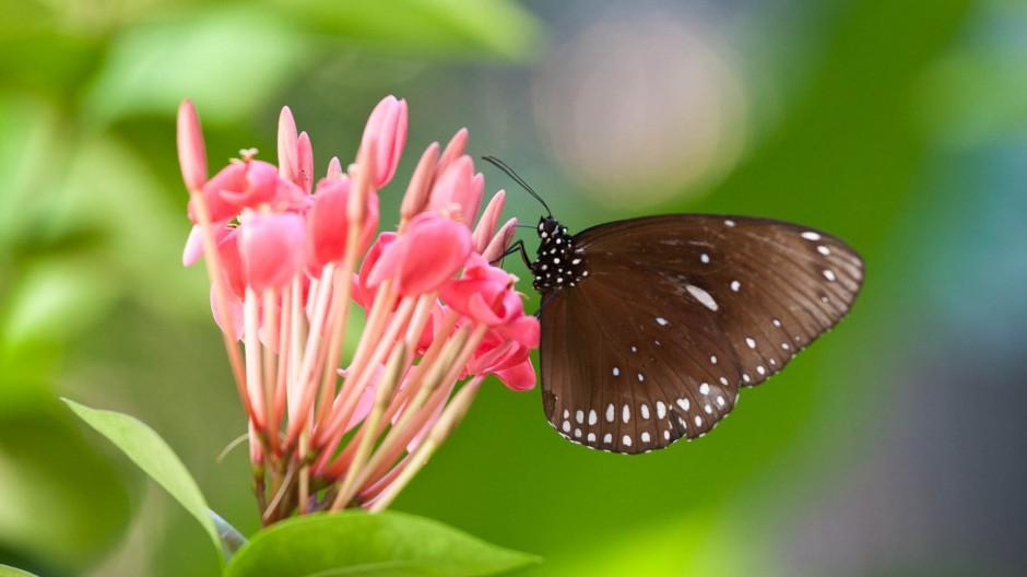 Papillon – Thaïlande