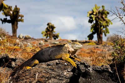 Iguane – Iles Galapagos