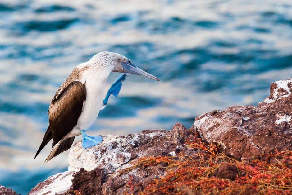 Fou à piéds bleus – Iles Galapagos